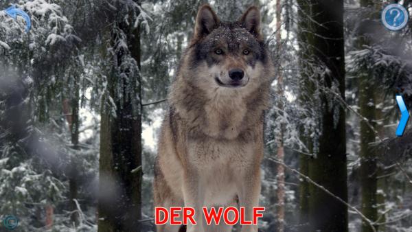 """Screenshot: Foto von einem Wolf. Darunter steht """"Der Wolf"""" in Großbuchstaben geschrieben."""