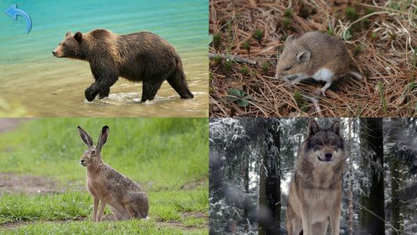 Screenshot: Quizmenü mit vier verschiedenen Tierfotos. Links oben ist ein Bär, rechts oben eine Maus, links unten ein Hase und rechts unten ein Wolf.