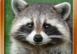 Logo des Spiels: Foto eines Waschbären, der direkt in die Kamera schaut.